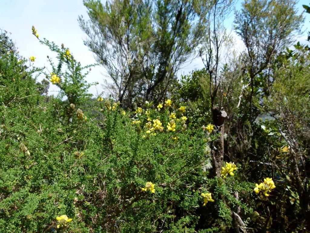 2014-04-28_0094Adenocarpus viscusus