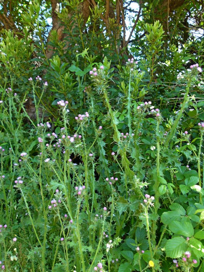 Hier an einem feuchteren Standort. Die ganze Pflanze ist kräftiger, die Flügel ausgeprägter, die Blätter größer und mit deutlicherer Zeichnung.