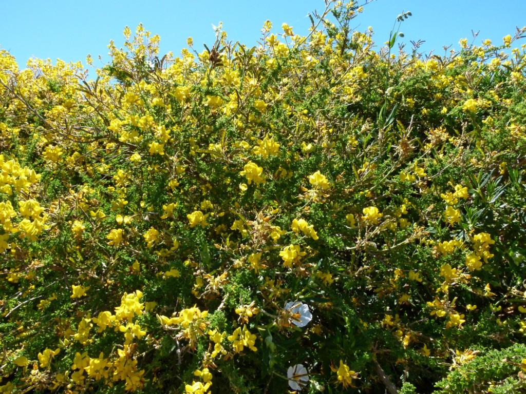 2014-05-03_0037Adenocarpus viscosus Kopie