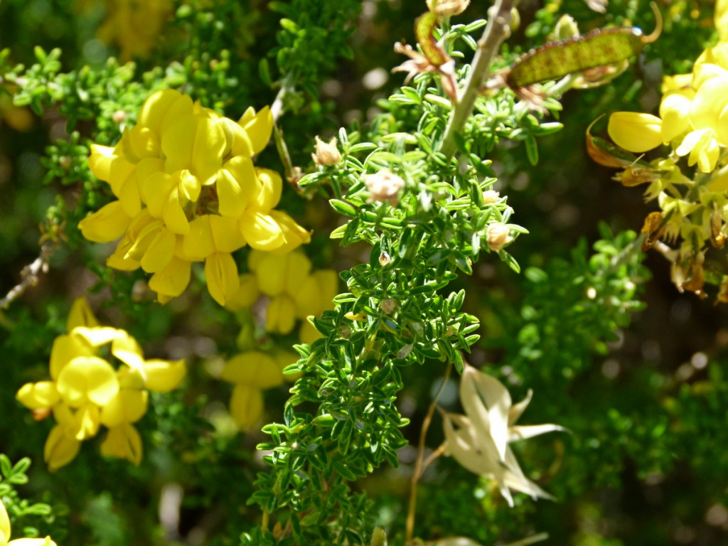 2014-05-03_0042Adenocarpus viscosus Kopie