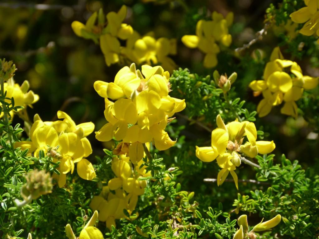 2014-05-03_0044Adenocarpus viscosus Kopie