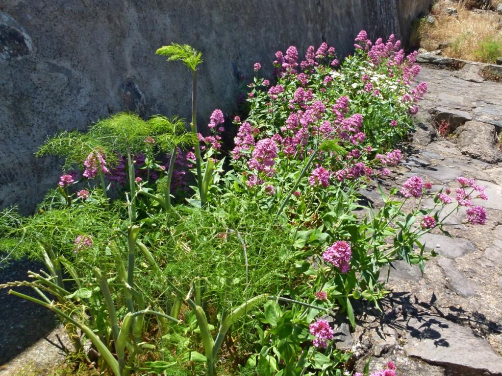 Im Vordergrund steht Anis (Pimpinella anisum)