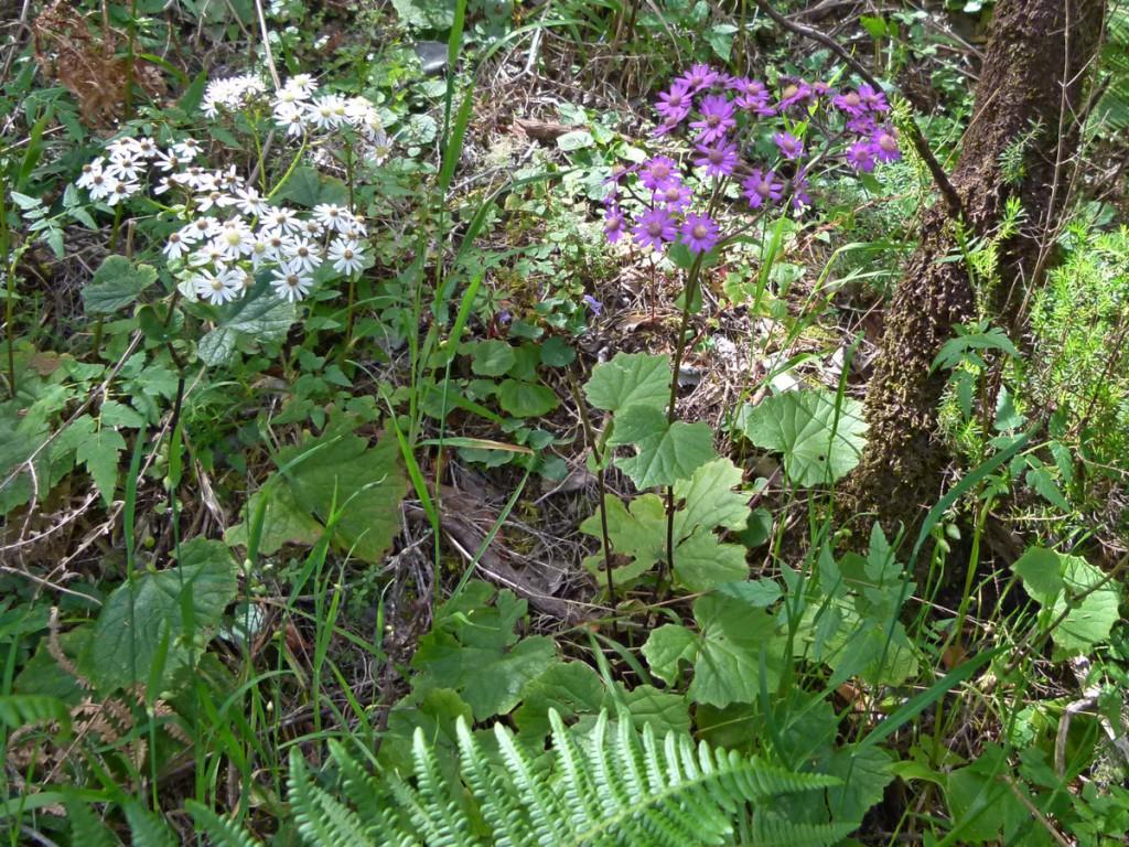 2014-05-04_0040Pericallis steetzii-weiß-violett
