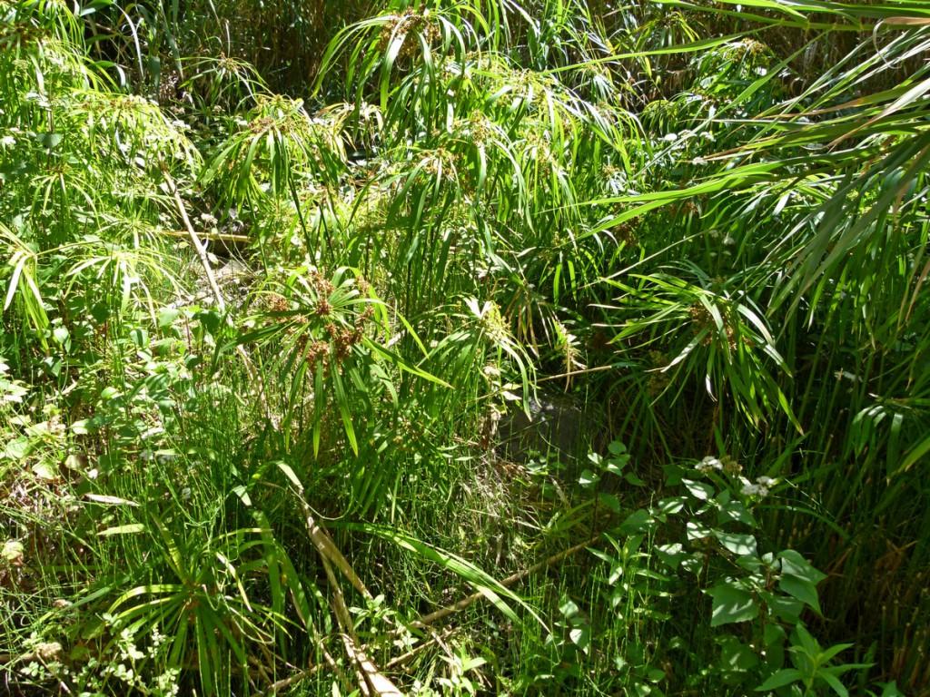 2014-05-07_0043Cyperus alternifolius