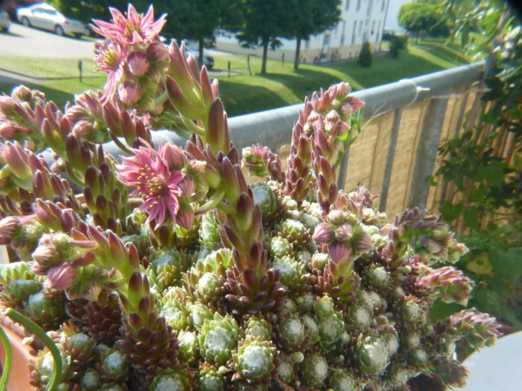 2014-06-04_0001_Sempervivum arachnoideum Kopie