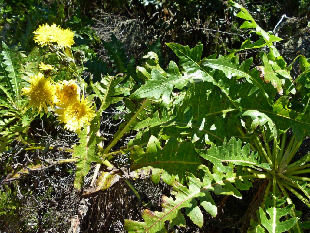2014-04-28_0130Sonchus hierrensis