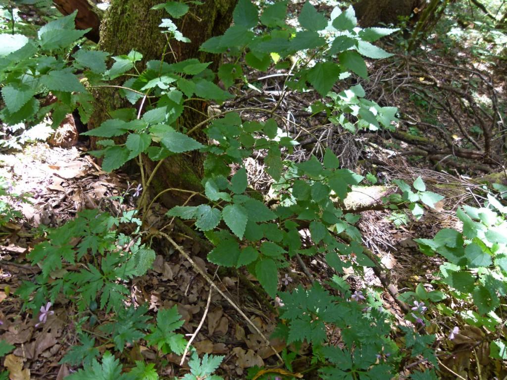 2014-05-09_0067Urtica morifolia