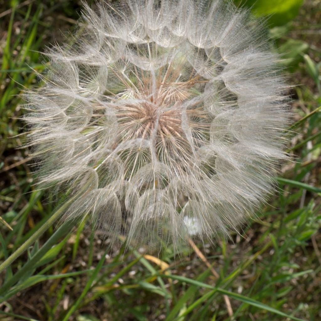 20150706-1963 Tragopogon pratensis Bl